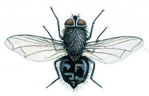 Klyngeflue