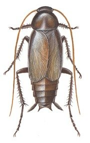 Orientalsk han-kakerlak