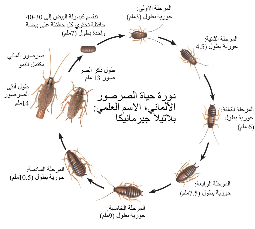 دورة حياة الصرصور الألماني، الاسم العلمي: بلاتيلاّ جيرمانيكا