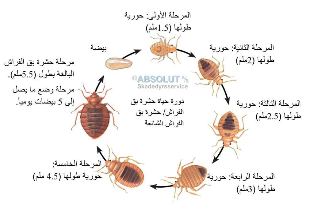 دورة حياة حشرة بق الفراش حشرة بق الفراش الشائعة