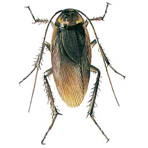 Amerikansk kakerlak