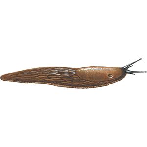 Dræbersnegl