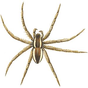 Jagtedderkop