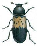 Larder böcekleri
