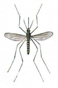 danske myg