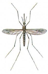 Malariamyg