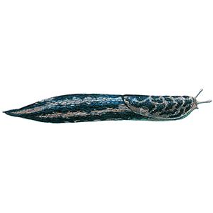 Stor kældersnegl