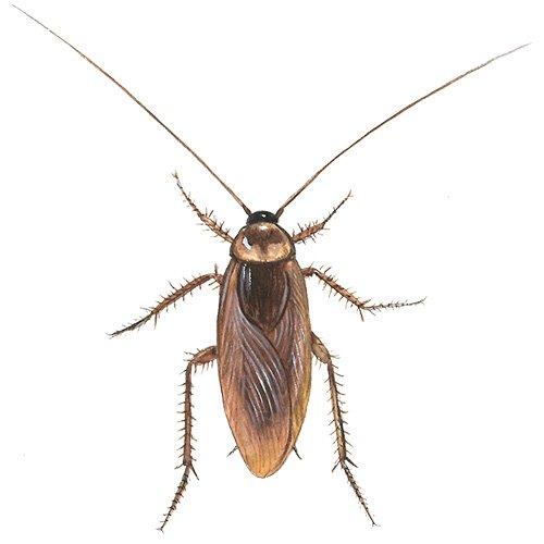 Amerikansk kakerlak med lange følehorn