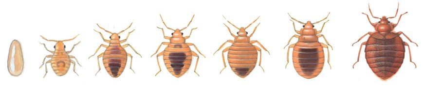 Bed bugs stages