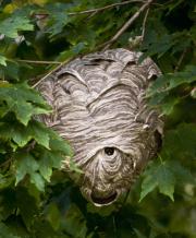 Hvepse i træ, sommer