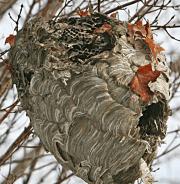 Forladt hvepsebo, vinter