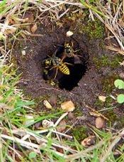 Hvepse i græsplænen