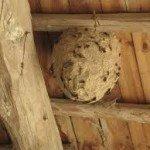 Hvepse på loftet