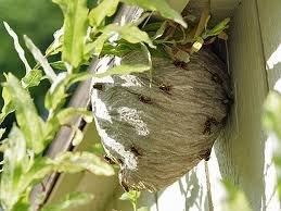 Hvepsebo i udhæng