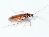 Se, en kakerlak