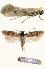 møl larver