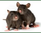Billede af rotter 3