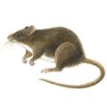 Sıçanlar