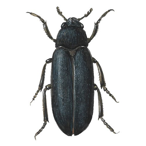 Skin beetle