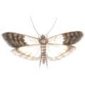 Tofarvet frømøl med udfoldede vinger