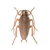 Oversigt over kakerlakker - Tysk kakerlak