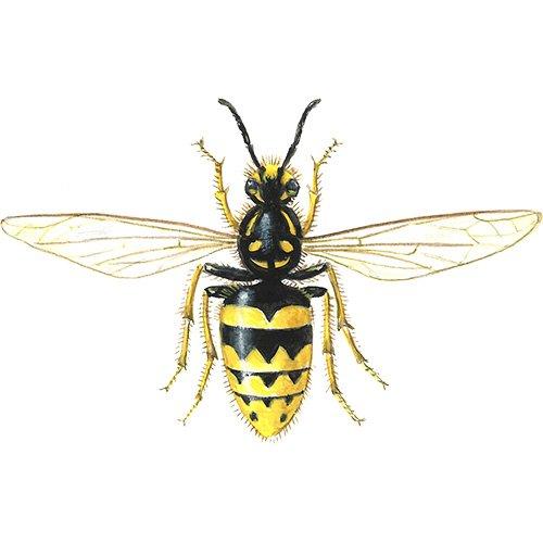 Yaban arıları